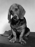 Basset Hound Puppy Looking Sad Head Tilted to One Side