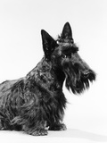 Black Scottie Scottish Terrier Dog with Head Slightly Tilted
