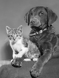 1950s Portrait of Lab Mix Dog Lying Down with Kitten Sitting on Paw