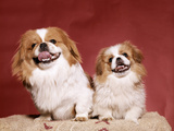 1970s Two Pekinese Dogs Brown and White Big Little Leaning Tongues Out Cute