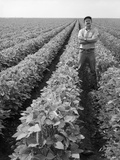1970s Man Standing with Arms Crossed Among Rows of Large Soybean Crop