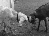 A Black and a White Goat Butting Heads