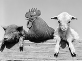 1960s Piglet Rooster Lamb Trio Leaning on Wooden Fence Pig Chick Sheep