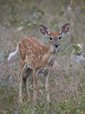 White-Tailed Deer (Whitetail Deer) (Virginia Deer) (Odocoileus Virginianus) Fawn