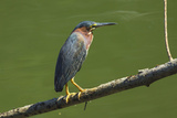 Green Heron (Butorides Virescens) by the Nosara River at the Biological Reserve