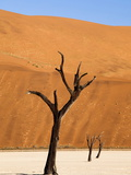 Dead Camelthorn Trees Said to Be Centuries Old Against Towering Orange Sand Dunes Bathed