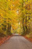 Autumn Colours in the Beech Trees on the Road to Turkdean in the Cotwolds