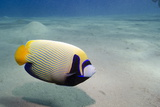 Emperor Angelfish (Pomacanthus Imperator) Close to Sandy Seabed