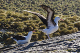 Adult Black-Browed Albatross (Thalassarche Melanophrys) Pair