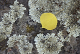 Yellow Aspen Leaf on a Lichen-Covered Rock in the Fall