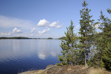 Young Scots Pine Trees (Pinus Sylvestris) Growing Near Rocky Shore of Lake Saimaa