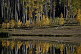Yellow Aspens Among Evergreens in the Fall Reflected in a Lake
