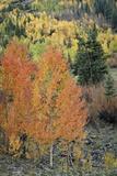 Orange Aspens in the Fall