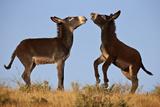 Two Young Wild Burro (Donkey) (Equus Asinus) (Equus Africanus Asinus) Playing