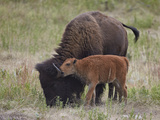 Bison (Bison Bison) Calf Playing with its Mother