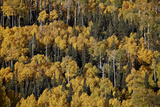 Yellow Aspens Among Evergreens in the Fall