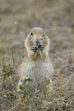 Black-Tailed Prairie Dog (Blacktail Prairie Dog) (Cynomys Ludovicianus) Eating