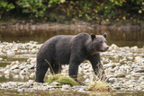 Brown or Grizzly Bear (Ursus Arctos) Fishing for Salmon in Great Bear Rainforest