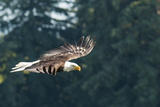 Bald Eagle (Haliaeetus Leucocephalus) Near Prince Rupert  British Columbia  Canada  North America