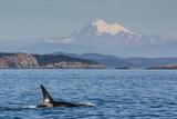 Resident Killer Whale Bull