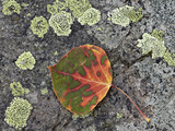 Aspen Leaf Turning Red and Orange on a Lichen-Covered Rock