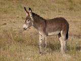 Young Wild Burro (Donkey) (Equus Asinus) (Equus Africanus Asinus)