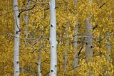 Aspen Trunks Among Yellow Leaves