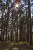 Tall Trees with Sunlight Breaking Through  Virginia Water  Surrey  England  United Kingdom  Europe
