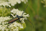 Musk Beetle (Aromia Moschata) Foraging on Wild Carrot (Queen Anne's Lace) (Daucus Carota)