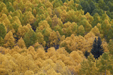Evergreen Among Yellow and Green Aspens in the Fall
