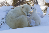 Polar Bear (Ursus Maritimus) and Cubs