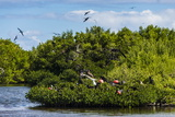 Frigate Bird Colony in the Codrington Lagoon