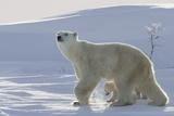 Polar Bear (Ursus Maritimus) and Cubs