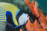 Emperor Angelfish (Pomacanthus Imperator) Close-Up