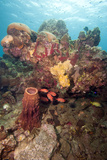 Reef Scene with Soldier Fish  Dominica  West Indies  Caribbean  Central America