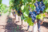 Grapes on a Vine in a Vineyard  Lumbarda  Korcula Island  Dalmatian Coast  Croatia  Europe