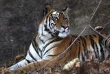 Bengal Tiger  Panthera Tigris Tigris  Bandhavgarh National Park  Madhya Pradesh  India