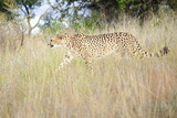 Cheetah Walking Through Tall Grass  Amani Lodge  Near Windhoek  Namibia  Africa