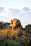 Male Lion Bathed in Evening Light and Roaring  Amani Lodge  Near Windhoek  Namibia  Africa