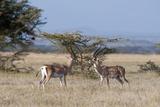 Grants Gazelle (Gazella Granti)  Samburu National Reserve  Kenya  East Africa  Africa