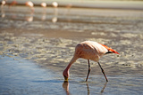 A James Flamingo Feeding in a Shallow Lagoon on the Bolivian Altiplano  Bolivia  South America