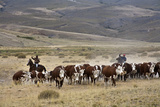 Gauchos with Cattle at the Huechahue Estancia  Patagonia  Argentina  South America