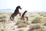 Two Wild Horses Sparring in the Bleached Landscape Near Aus  Namibia  Africa