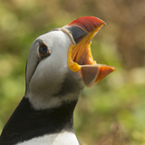 Puffin with Gaping Beak Showing Barbs in Roof of Beak  Wales  United Kingdom  Europe
