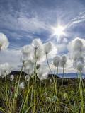 Arctic Cottongrass (Eriophorum Callitrix)  Heckla Haven  Northeast Greenland  Polar Regions
