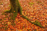 Autumn Leaves in Charles Wood  Dartmoor National Park  Devon  England  United Kingdom  Europe
