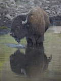 Bison (Bison Bison) Drinking from a Pond