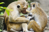 Tote Macaque Monkeys Grooming at Dambulla  North Central Province  Sri Lanka  Asia