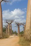 Alley of the Baobabs (Adansonia Grandidieri)  Morondava  Madagascar  Africa