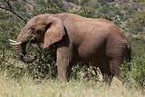 African Elephant (Loxodonta Africana)  Samburu National Reserve  Kenya  East Africa  Africa